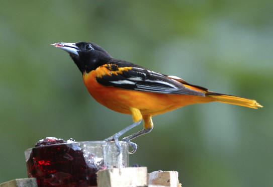 in the country orioles and tanagers of the mason dixon