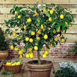 lemon tree very pretty and the flower so sweet growing citrus indoors. Black Bedroom Furniture Sets. Home Design Ideas