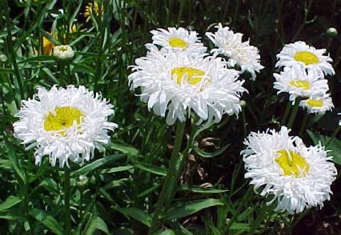 ... Leucantheumum vulgare, and English field daisy (Leucanthemum maximum). Burbank was not happy with the size of the daisy flower, so he selected the best ...