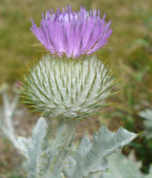 ... Growing In My Garden. I Almost Felt Bad Telling Him It Was The National  Flower Of Scotland But Assured Him I Was Careful To Make Sure It Did Not  Spread ...