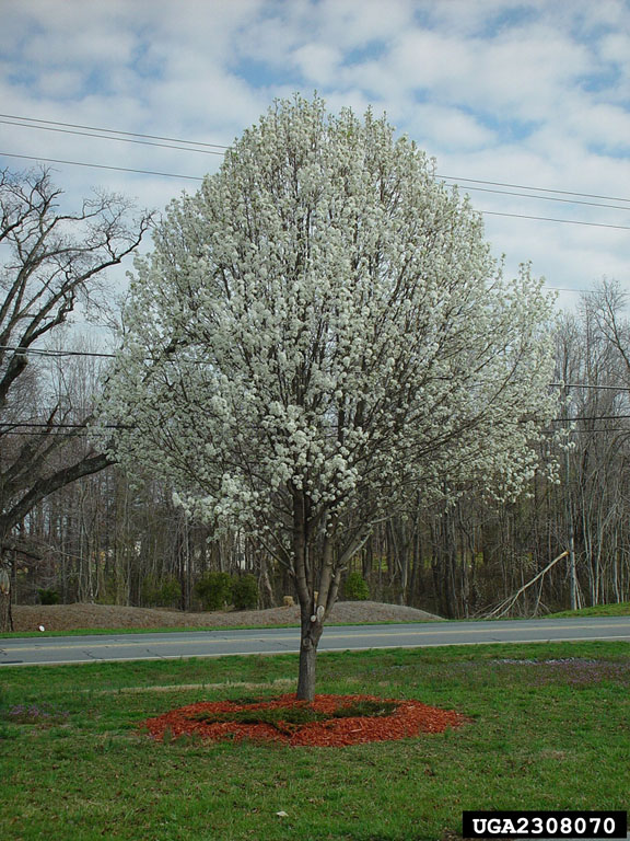 The pros cons of bradford pears Bradford pear