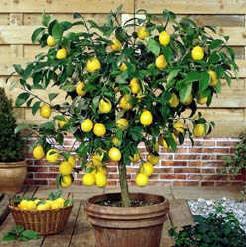 Dwarf Citrus Tree Improved Meyer Lemon Plant And Planter